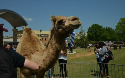 A camel at the KSU ISrael Fest