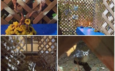Sarah Zaglin Rivera's sukkah becomes at least a temporary home for a four-legged stranger.