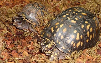 People who find injured turtles can call the Chattahoochee Nature Center.