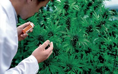 Physician inspecting a marijuana plant before harvesting
