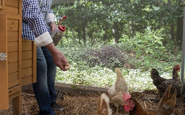 Ron likes caring for the hens with his grandchildren, who enjoy the feedings and collecting eggs.
