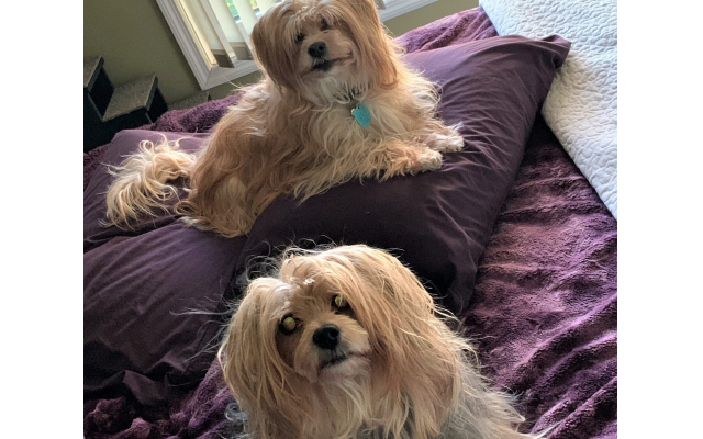 Andre and Abby - Debra of Sandy Springs 6-year-old Morkie and Yorkie/papillon