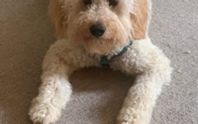 Beary - Robb of Sandy Springs 1-year-old mini goldendoodle