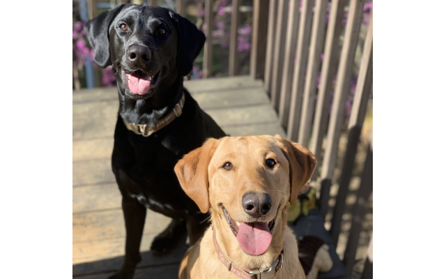 Beau and Virginia- Shelly and David Katz of John's Creek 2-year-old black Lab and red-fox Lab