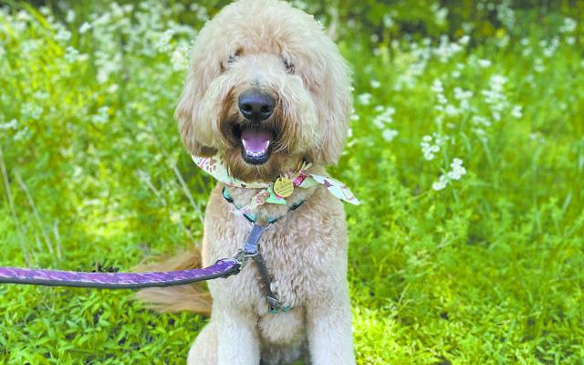 Boba - Lauren of Chamblee 2.5-year-old goldendoodle