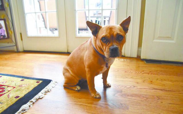 Chloe - Lydia of Brookhaven 8-year-old half American bulldog half pug