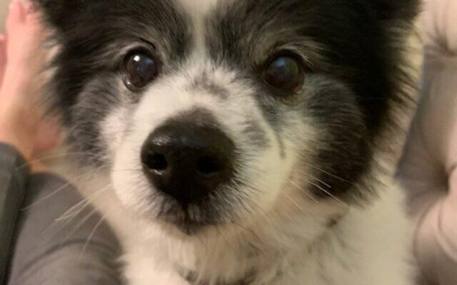 Cookie - Valerie of Dunwoody 13-year-old Pomeranian