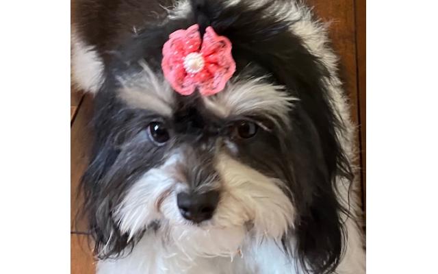 Cosette - Pearlann of Buckhead 2-year-old Havanese