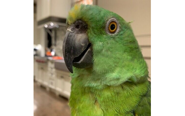 George - Bea of Historic Norcross 34-year-old yellow naped Amazon parrot