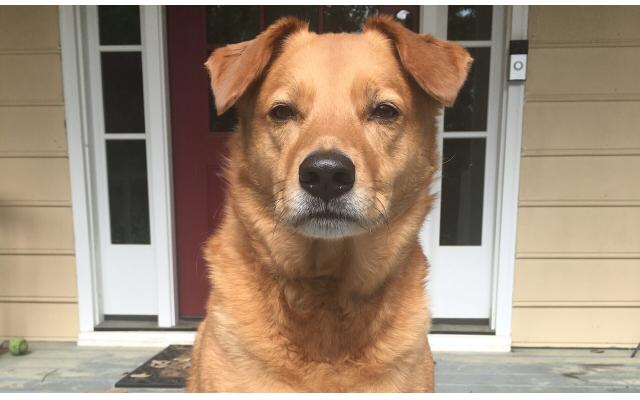 Georgia - Shari of Roswell 9-year-old golden retriever mix