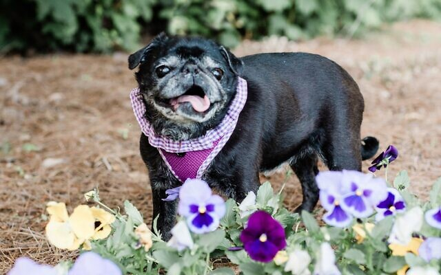 Gracie - David of Loganville 13-year-old pug