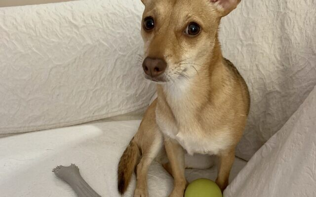 Hannah - Eileen of Brookhaven 3-year-old Chihuahua Jack Russell terrier mix