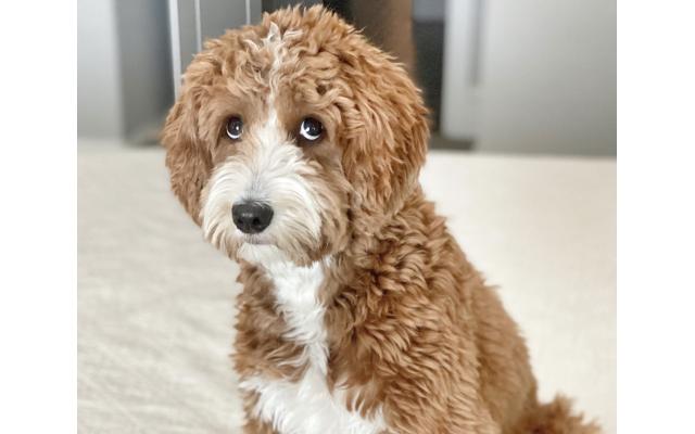 Harley - Lisa of Alpharetta 10-month-old mini goldendoodle