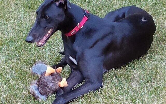 Kelton - Helaine of Brookhaven 2.5-year-old Greyhound
