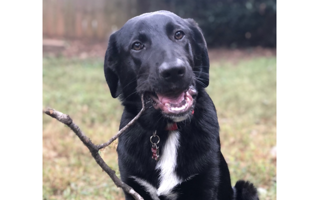 Kirby - Whitney of Brookhaven 2-year-old shepard mix