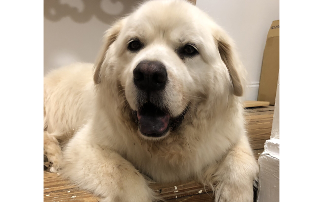 Maximus - Josh of Oakhurst/Decatur 8-year-old Great Pyrenees