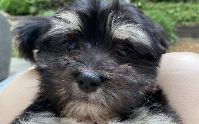 Murray - Bev of Toco Hills 14-week-old Havanese