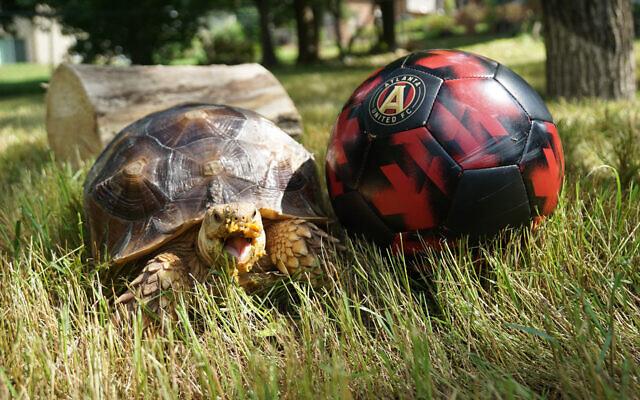 P - David & Daniela of Peachtree Corners 3-year-old sulcata tortoise