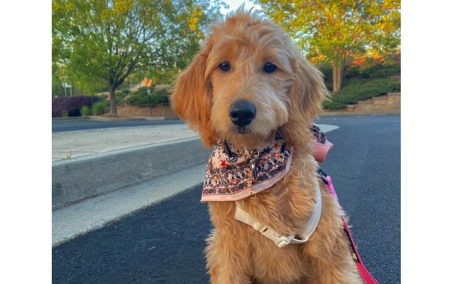 Rosie - Thais of Cumming 6-month-old mini goldendoodle