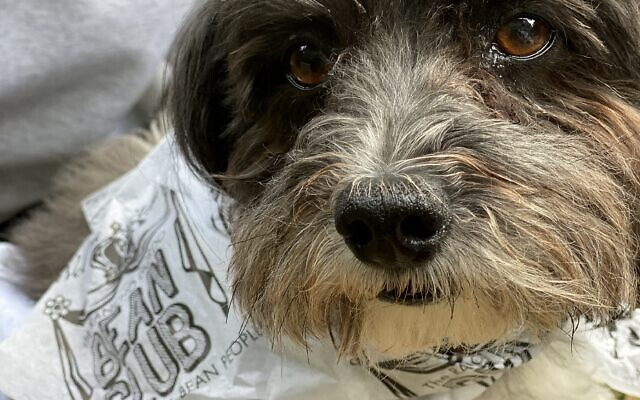 Solly - Bev of Toco Hills 10-year-old Havanese