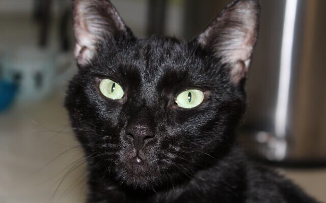Spazzy - Lilli of Peachtree Corners 13-year-old black cat