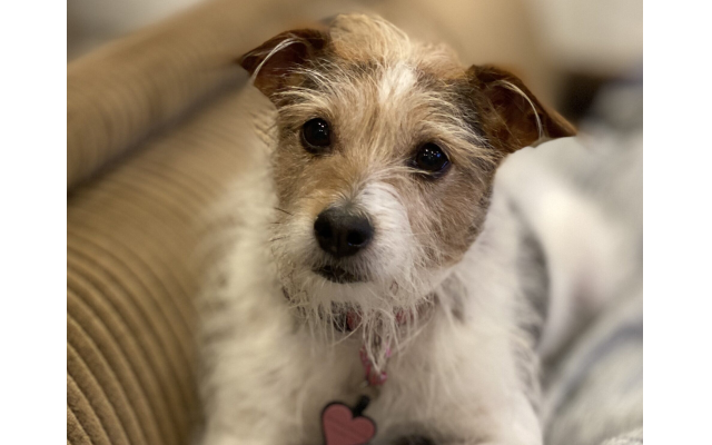 Sunflower - Lindsay of Midtown 11-year-old Jack Russell terrier mix