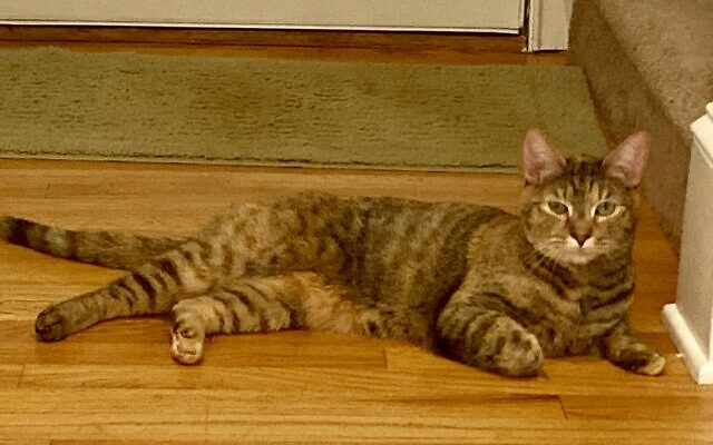 Tina - Josh of Roswell 3-year-old Tabby Mix