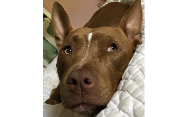 Vinny - Isabella of Briarcliff Woods 1.5-year-old pit bull mix