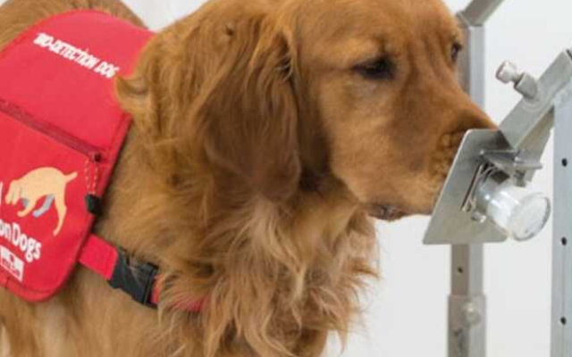 Because dogs are resistant to infection by the coronavirus, they are being trained to sniff it out in humans.