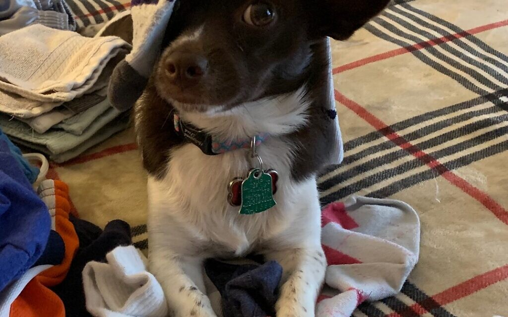 Harley - Janeen Blecker's 2.5 year-old Chihuahua - Jack Russell mix.