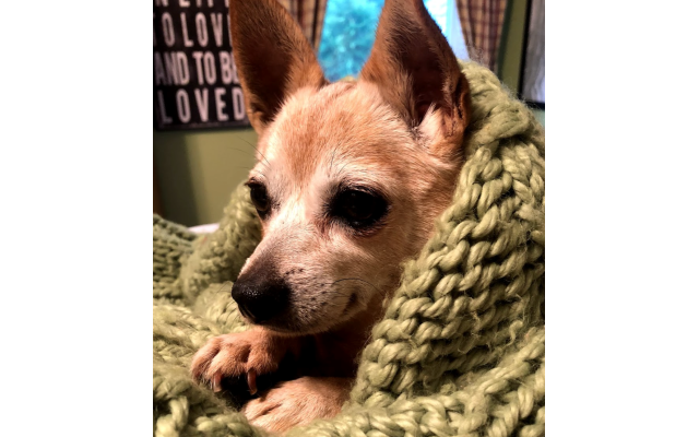 Honey - Rachel Cohen's 16-year-old Chihuahua mix.