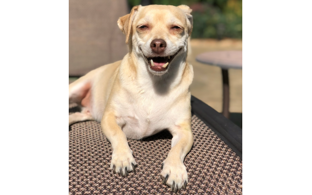 Lil' Jack - Rachel Cohen's 11 to 12-year-old Chihuahua Mix.
