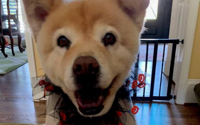 Marley - Rachel Cohen's 16-year-old Chow Mix.