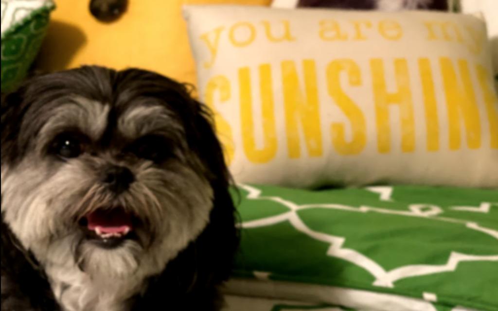 Minnie - Rachel Cohen's 8 to 9-year-old Shih Tzu Mix.