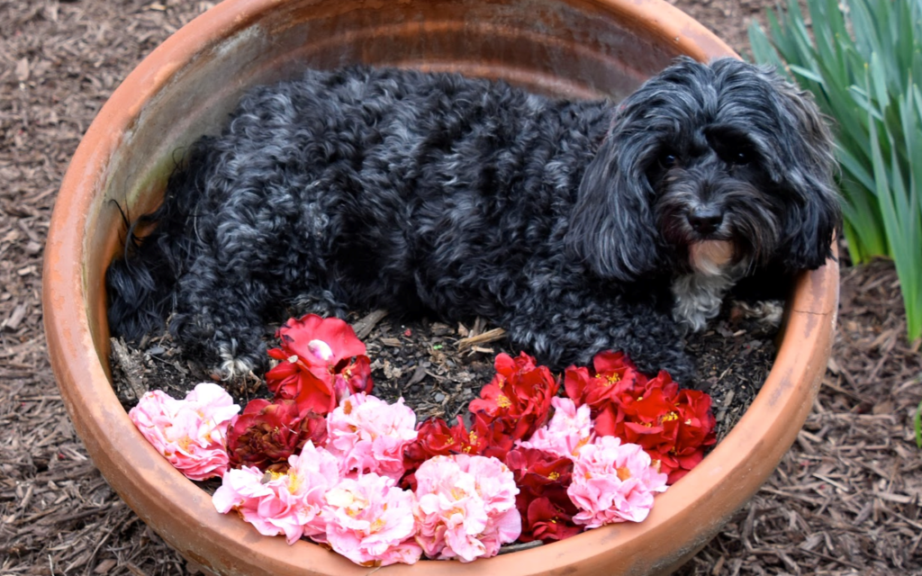 Zoe - Rachel Cohen's 4 to 5-year-old Poodle Mix.