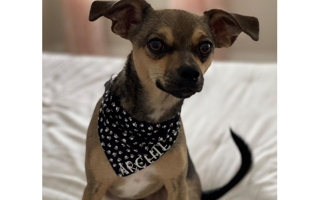 Archie - Nancy Miller's 14-month-old Chihuahua Mix.