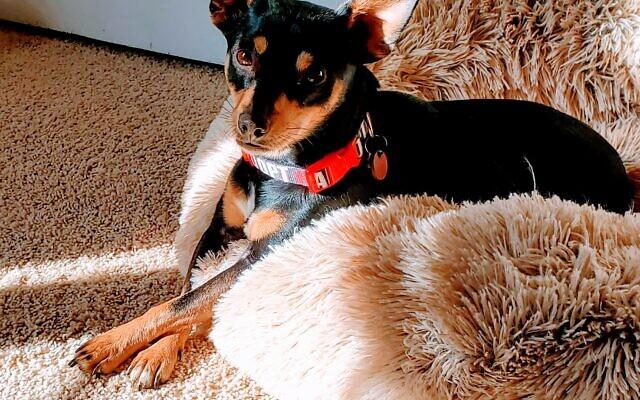 Lulu Lemon - Toni Perling's 2-year-old Chihuahua Mix.