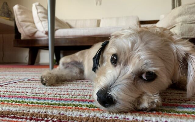 Teddy - Pam Sussin's 4-year-old Malti-Poo Terrier Mix.