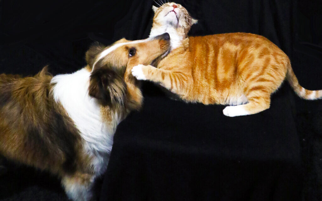 Agnus O'Neil and Tiger Shrak  - Denise Adelman's 3 and 5-year-old Sheltie and Tabby.