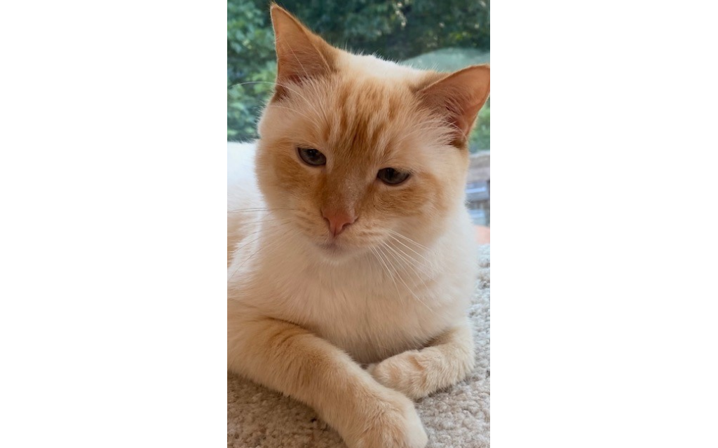 Pete - Renay Blumenthal's six-year old Flame Point Siamese.