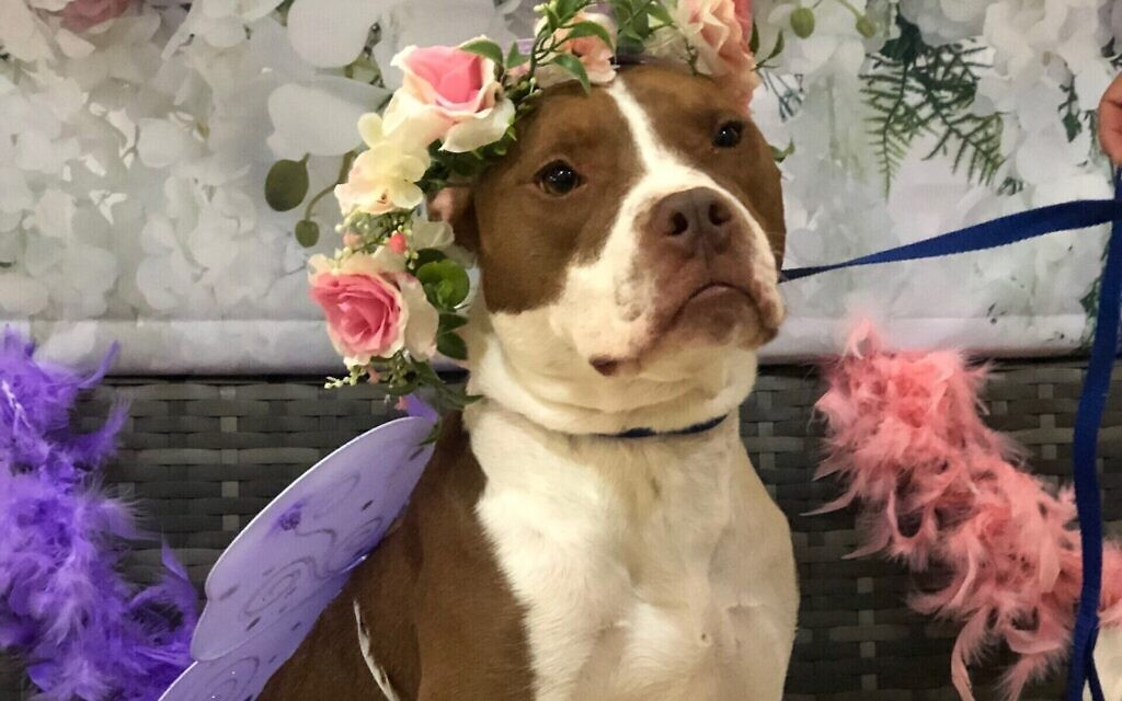 Harper - Lindsay Fried's 4-year-old Red Nose Pitbull.