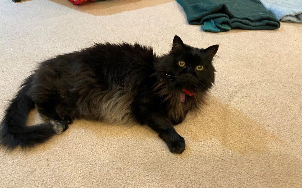 Bernie - Lisa Handman's Cat.