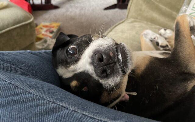 Daisy - Kristina Humphrey's 11-year-old Boston Terrier/ Shar Pei Mix.