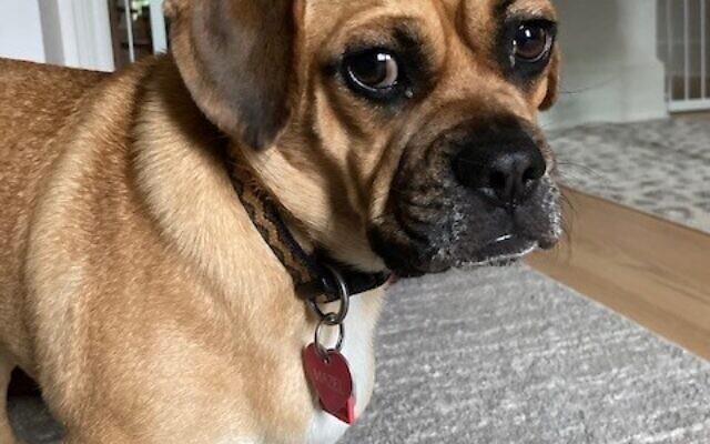 Mazel - Philip Karlick's 14-month-old Puggle.