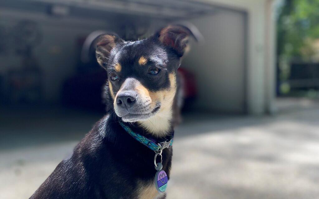 Bailey - Lori Lobel's 2-year-old Chihuahua/Rat Terrier Mix.