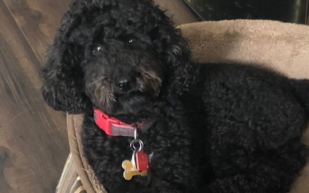 Guinness - Hallie Pinstein's 4-year-old Miniature Poodle.
