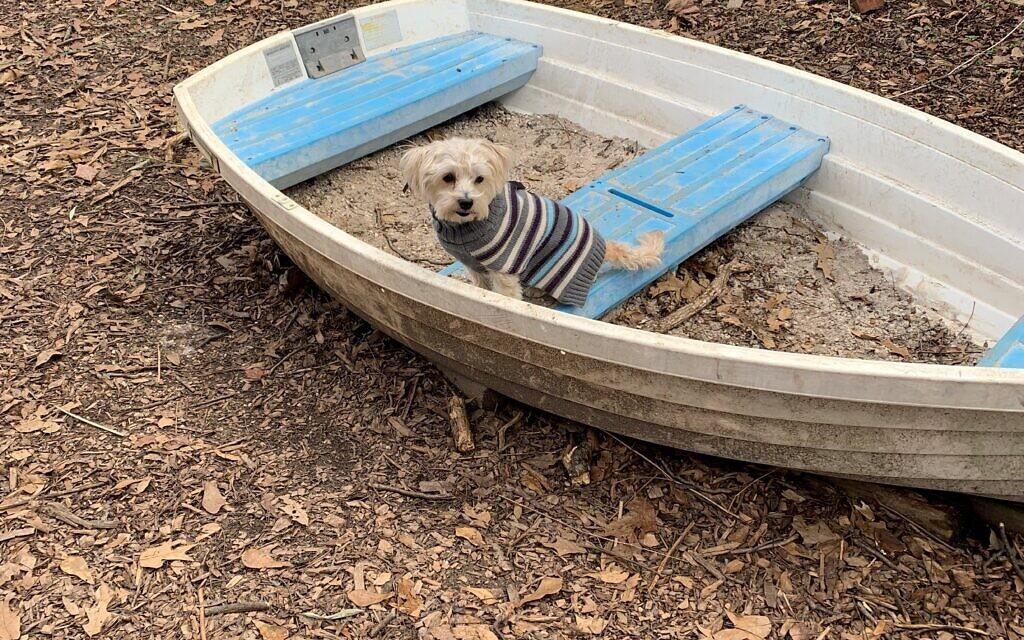 Freddie - Deborah Singer's 11-year-old Poodle.