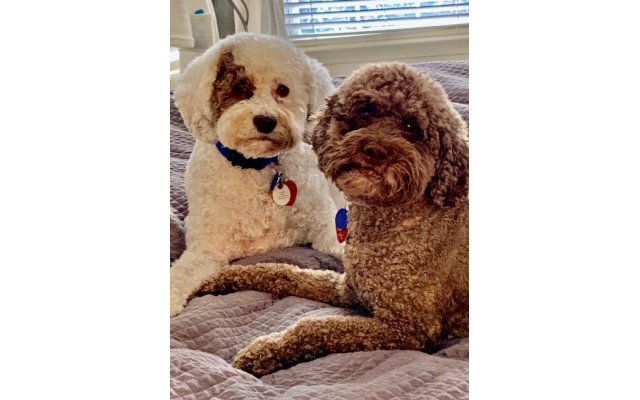 Anakin and Bella - Babz and Pete Fishman's 12-year-old Miniature Australian Labradoodles.