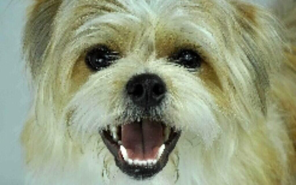 Bumper - Ephraim Kramer's seven year old Tibetan Terrier.