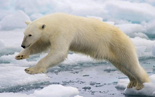 Polar Bears numbers have dwindled as polar ice cap shrinks due to global warming (public domain, NPS Climate Change Response)